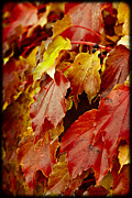 Vivid Fall Colors Framed Prints - Brightest Before the Fall Framed Print by Christi Kraft