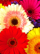 Gerber Daisy Art - Brightly Colored Gerbers by Amy Vangsgard