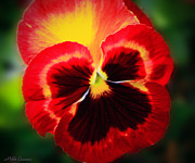 Mikki Cucuzzo Acrylic Prints - Brightly Colored Pansie Acrylic Print by Mikki Cucuzzo