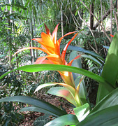 Rosie Brown - Brilliant Bromeliad