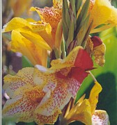 Robert Bray Metal Prints - Brilliant Canna Lilies Metal Print by Robert Bray