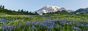 Mount Rainier Framed Prints - Brilliant Meadow Framed Print by Mike Reid