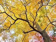 Matt Taylor - Brilliant Yellow Maple...