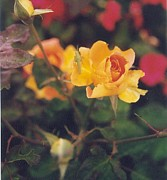 Robert Bray Metal Prints - Brilliant Yellow Rose Metal Print by Robert Bray