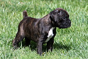 Brindle Prints - Brindle Boxer Puppy Print by Brett Friend