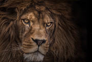 Dignified Prints - Brink of Extinction Print by Ashley Vincent