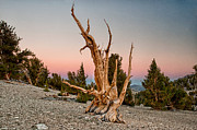 Tree Art - Bristlecone at Sunset by Cat Connor