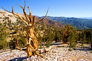 Oldest Living Tree Posters - Bristlecone Landscape Poster by Adam Jewell