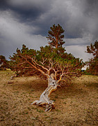 The Bitter Buffalo - Bristlecone Pine