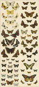 Insects Drawings Framed Prints - British Butterflies Framed Print by English School