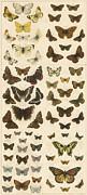 British Butterflies Print by English School