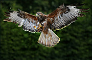 Buzzard Prints - British Buzzard Wings Spread Print by Bev  Brown