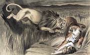 Opinion Prints - British Lion Attacks Indian Bengal Tiger  1870 Print by Daniel Hagerman