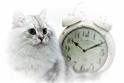 Silver Digital Art Prints - British Longhair Cat Time Goes By II Print by Melanie Viola