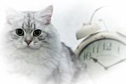 Baby Digital Art - British Longhair Cat Time Goes By by Melanie Viola
