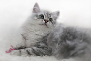 Silver Digital Art Prints - British Longhair Kitten Print by Melanie Viola