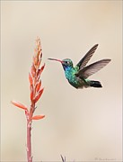Bird In Flight Pyrography Acrylic Prints - Broad Billed Hummingbird Acrylic Print by Daniel Behm