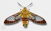 Bee Drawings - Broad-bordered Bee Hawk Moth Butterfly - Hemaris fuciformis naturalistic painting -Nettersheim Eifel by Urft Valley Art