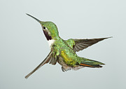 Gregory Scott - Broad-Tailed Hummingbird