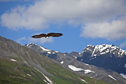 Eagle Metal Prints - Broad Wings in the Mountains Metal Print by Tim Grams