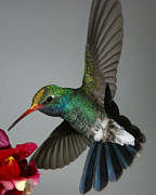Feather Art - Broadbill hummingbird with Pollen Cap by Gregory Scott