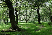 Fangorn Forest Prints - Brocton Coppice Print by John Chatterley