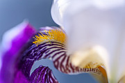 Color Symbolism Prints - Broken Beauty. Macro Iris Series Print by Jenny Rainbow