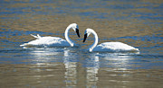 Swans Art - Brokenhearted  by Sandra Bronstein