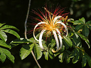 Epiphyte Metal Prints - bromelia epiphyte from Costa Rica Metal Print by Rudi Prott