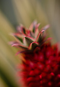 Thin Photo Framed Prints - Bromeliad Crown Framed Print by Mike Reid