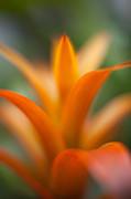 Bromeliad Flow Print by Mike Reid