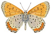 White Drawings Posters - Bronze copper butterfly Poster by Anonymous