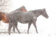 Broodmare Art - Broodmares in a Snow Flurry by Terri Cage