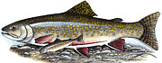 Trout Mixed Media Prints - Brook Trout Print by Art  MacKay