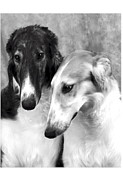 Puppies Digital Art Metal Prints - Brother and Sister Borzoi  Metal Print by Maxine Bochnia