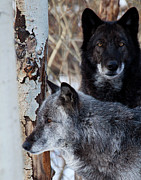 Wolf Photograph Prints - Brother Wolf Print by Jim Garrison