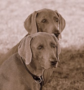 Weimaraners Framed Prints - Brothers Framed Print by Barbara Dudley