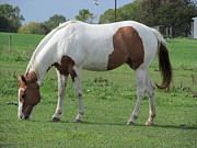 Quarterhorses Posters - Brown And White Painted Horse Poster by Tina M Wenger