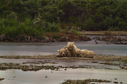 Brown Bear And Cubs Taking A Break From Fishing For Salmon Print by Dan Friend