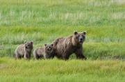 Hart Framed Prints - Brown Bear Sow Walks With Her Cubs Framed Print by Cathy Hart