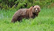 All - Brown Bear Stare Alaska by Tom Wurl