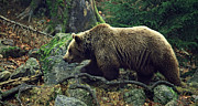 Wild Life Photos - Brown bear by Unknown