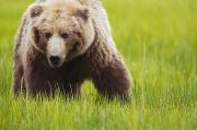 Kodiak Prints - Brown Bear Up Close At Lake Clarke Print by Richard Wear