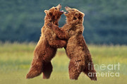 Brown Bears Sparring Print by Frans Lanting MINT Images