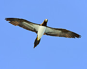 Caribbean Sea Framed Prints - Brown Booby Framed Print by Tony Beck