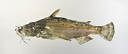 Catfish Mixed Media Prints - Brown Bullhead Catfish Print by Nancy Gorr