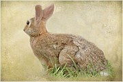 Outdoor Images Framed Prints - Brown Bunny Framed Print by Tom York
