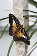 Brown Clipper Prints - Brown Clipper Butterfly #2 Print by Judy Whitton