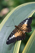 Brown Clipper Photos - BRown Clipper Butterfly #4 by Judy Whitton