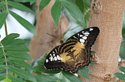 Brown Clipper Photos - Brown Clipper Butterfly #5 by Judy Whitton